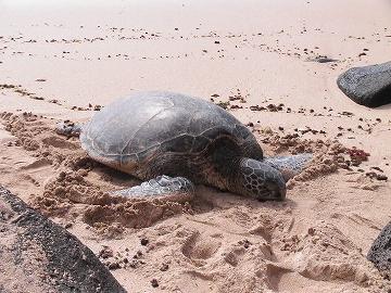 ラニケアビーチの海ガメさん01