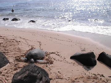ラニケアビーチの海ガメさん02