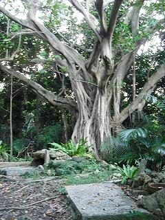 イビの森のご神木