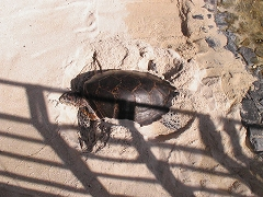 砂浜で日向ぼっこするウミガメ
