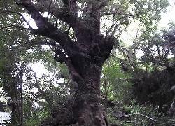 首里金城の大アカギ・内金城嶽(うちかなぐすくたき)